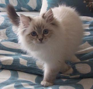 ragdoll-kittens-colorado